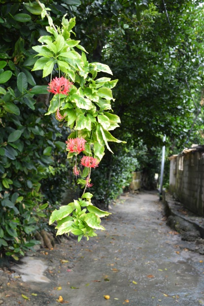 Green wall district -Fukugi trees (Common Garcinia) of Bise